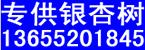邳州银杏树苗价格网